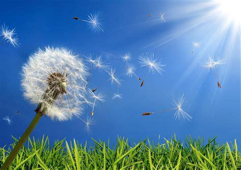 dandelion allergy picture 2