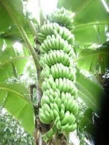 plantain tree care picture 10