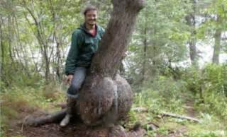 african tree used to grow your penis does it work mvunguti picture 2