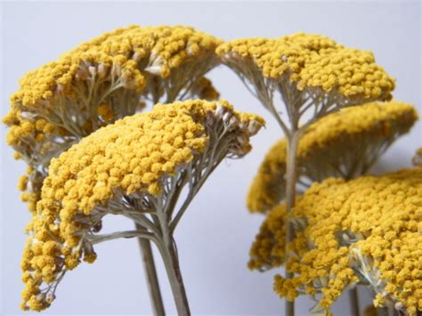 how to store dried yarrow picture 9