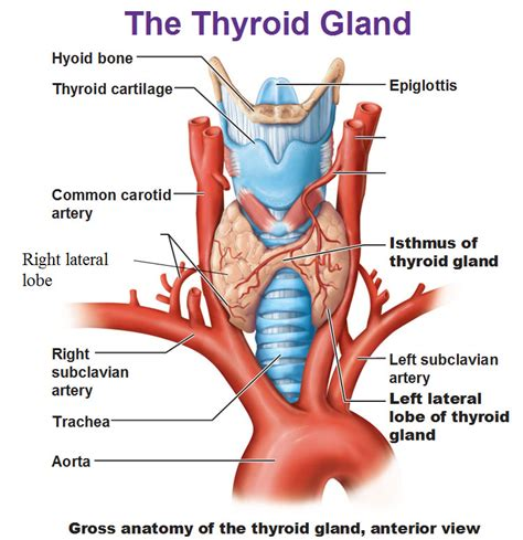 what does it mean when your thyroid isthmus picture 4