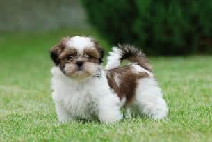 common health problems in bichon dogs picture 10