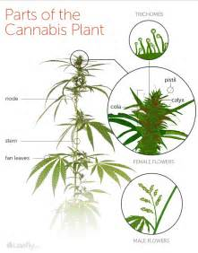 what parts of the maryjane plant do you picture 2