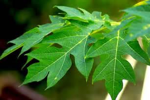 papaya leaf picture 15