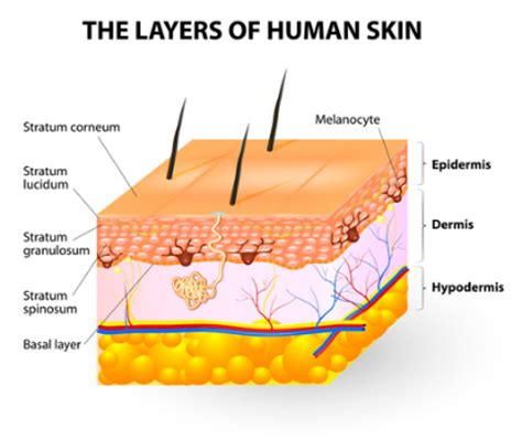 layers of skin picture 9