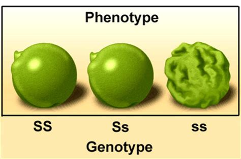 a specific genotype four short and four have long hair picture 3