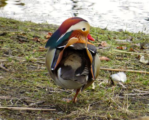 do ducks have h picture 11