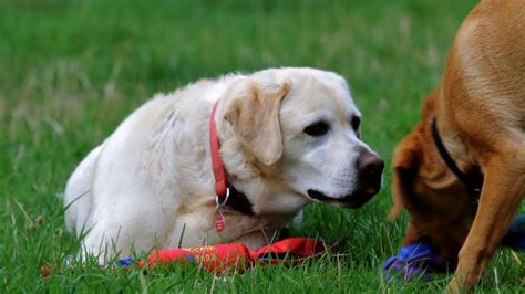 canine pain relief therapy picture 13