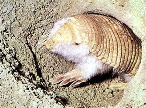 armadillo diet picture 7