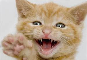 loose teeth in kittens picture 2