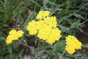 yellow yarrow picture 13