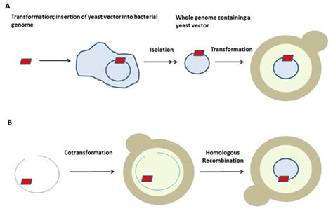 bacterial transformation method picture 1
