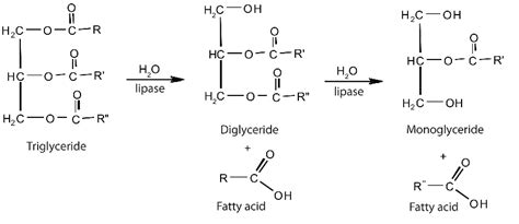 enzymes digestion picture 11