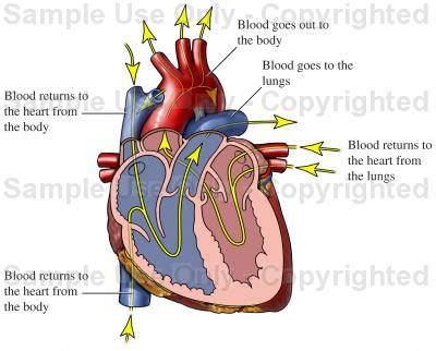 how to get more blood flow to my picture 3