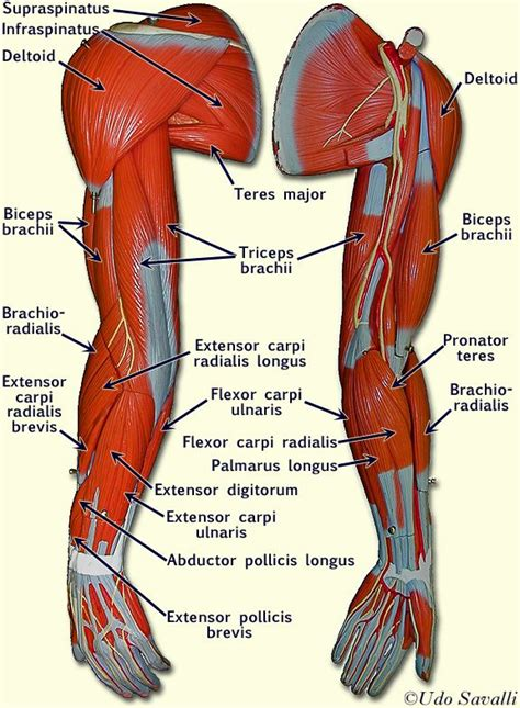 anatomy muscle model picture 1