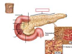 digestive organs quizlet picture 14