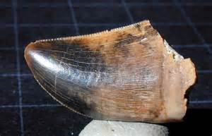 dinosaur teeth picture 3