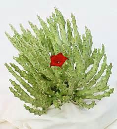 caralluma fimbriata plant growers picture 3