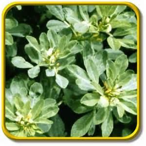fenugreek herb picture 7