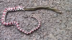 loss of appee in corn snakes picture 3