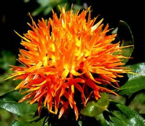 safflower picture 1
