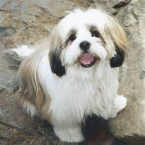 common health problems in bichon dogs picture 6