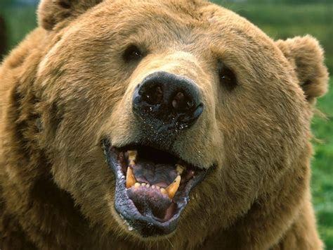 bear teeth picture 7