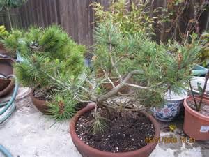 bonsai ginkgo training picture 11
