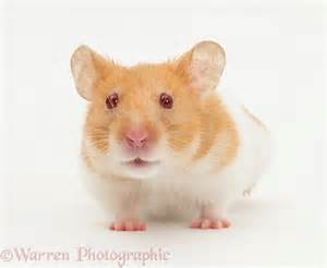 short hair hamsters picture 1