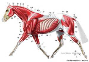 horse muscle system picture 7