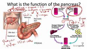 digestive function of pancreas picture 10