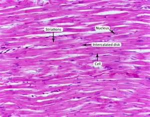 human muscle tissue picture 22