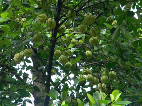garcinia cambogia tree picture 1