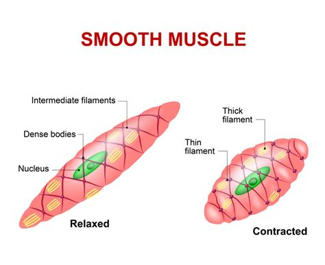 contraction in smooth muscle tissue picture 13