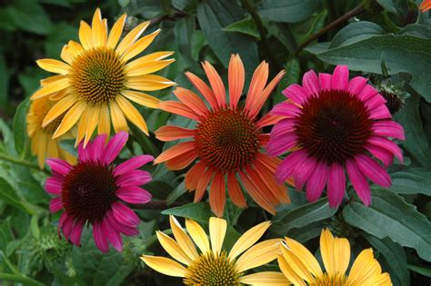 standard process sublingual echinacea picture 7