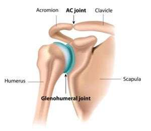 ac joint muscles picture 3