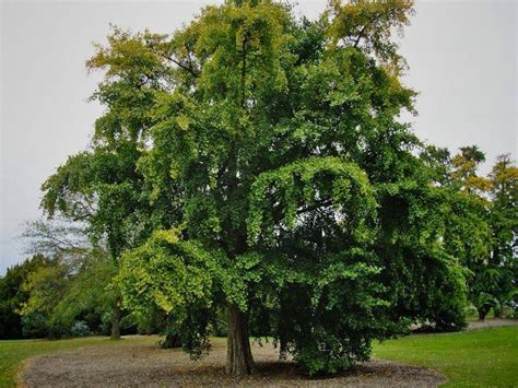 where are ginkgo biloba trees originally from picture 5