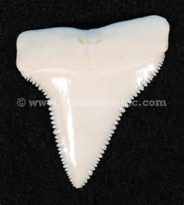 great white shark teeth picture 10