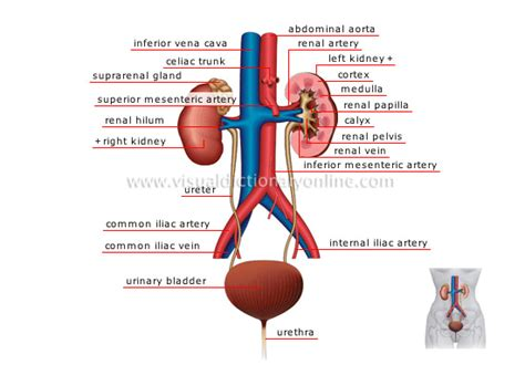 blood flow in the liver picture 15