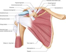 ac joint muscles picture 9