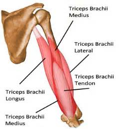 build tricep muscle picture 2