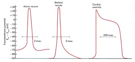 does ecg directly measure action potentials in muscle picture 28