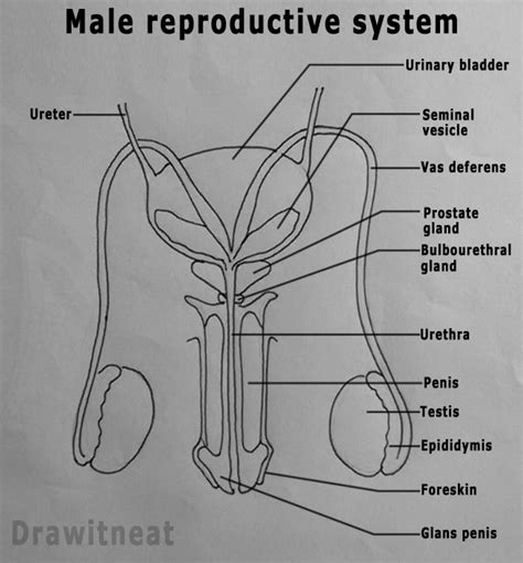 jakol i male reproductive systems picture 9
