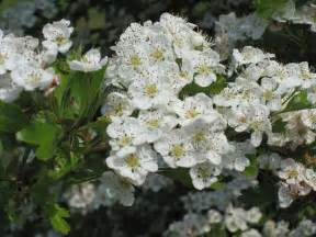 hawthorn picture 6