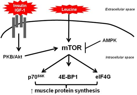 testosterone on muscle protein synthesis picture 1