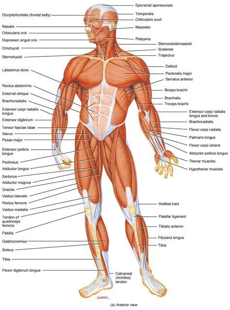 anatomy of skeletal muscle fiber picture 7