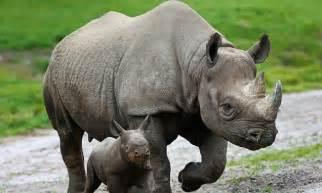 chinese herbal rhino picture 7