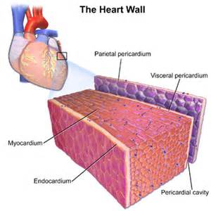centimeter thickening of heart muscle picture 15