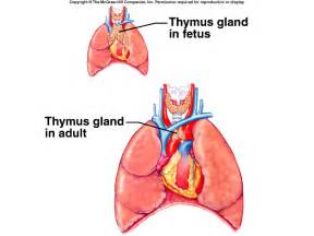 thymus picture 1