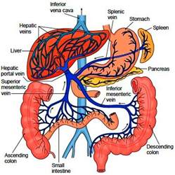 portal venous anatomy liver picture 3